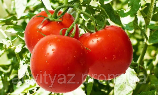 Семена томата Яна 10.000 тыс. семян