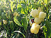 Семена перца Аден 500 семян