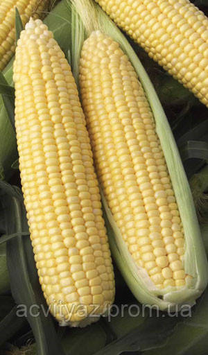 Насіння цукрової кукурудзи Nasko Zea 75/26 F1 1.000 насіння