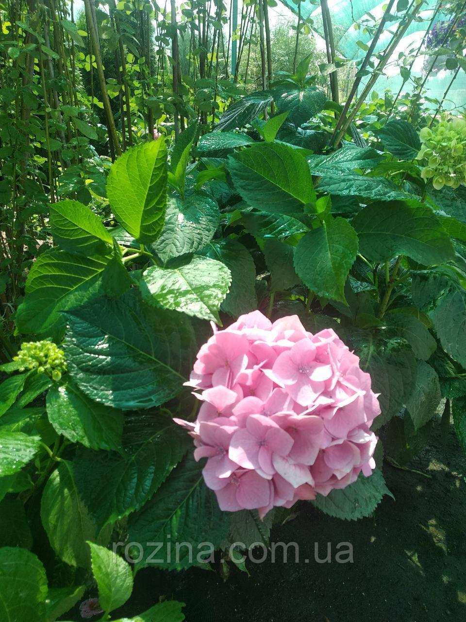 Гортензия крупнолистая Букет роуз