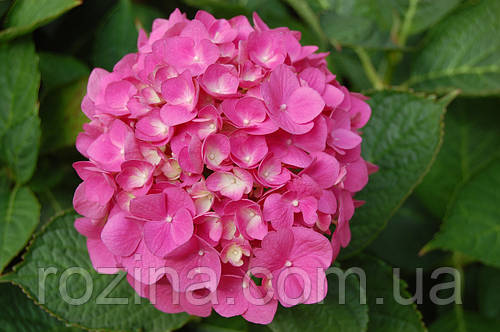 Гортензия крупнолистая Ендлес самер розе