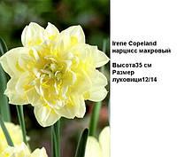 Нарцисс махровый Irene Copeland