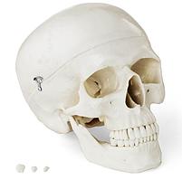 Анатомическая модель черепа человека