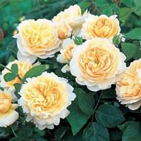 Роза английская Крокус Роуз