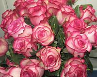 Эквадорская роза Карусель 60см