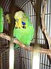 ЧЕХИ - выставочные попугаи