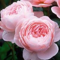 Троянда англійська Куін оф Свіден (Queen of Sweden)