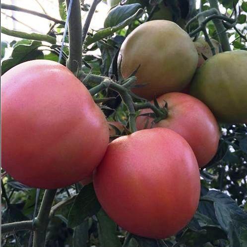 Семена томата Мануса F1 (100 сем.)