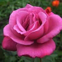 Роза паркова Блю Вандер