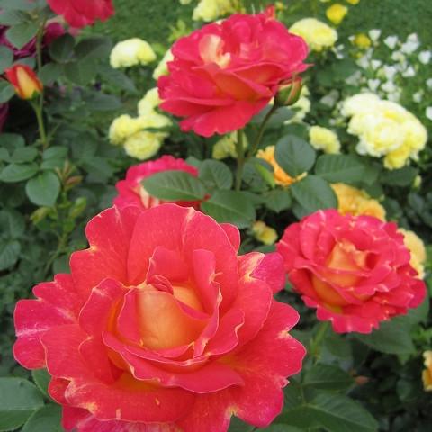 Роза парковая Декор Арлекин