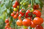 Применение агроволокна для выращивания помидоров