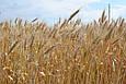 Семена озимой пшеницы Миссия Одесская (Элита), фото 2