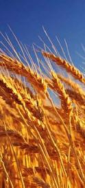 Семена озимой пшеницы Ласточка Одесская (1 репродукция)
