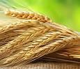 Семена озимой пшеницы Богдана (Элита), фото 2