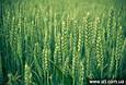Семена озимой пшеницы Шестопаловка (Элита), фото 2