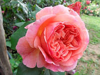 Роза в'юнка Папі Дельбард