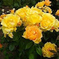 Роза бордюрна Ізі Гоуинг