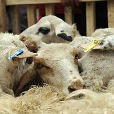 Оборудование для овцеводства и козоводства