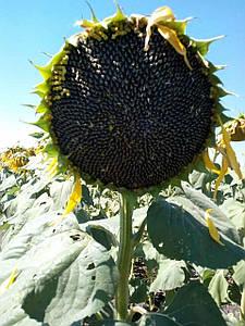 Семена подсолнечника Антей калибровка 2,6 мм.(Эконом)