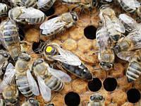 Пчеломатки Бджоломатки КАРПАТКА 2019 року виводу Бджолині матки