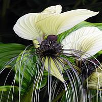 Такка цельнолистная, или Белая летучая мышь (Tacca integrifolia) семена 3шт