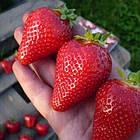 Саженцы клубники (рассада) Альба (Alba) - очень ранняя, крупноплодная, урожайная, фото 4