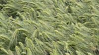 Семена озимого ячменя Девятый Вал (ЭЛИТА) (НИИ Одесса)