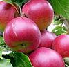 Зимние сорта яблонь