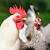 Ароматизатор для увеличение яйценоскости кур-несушек