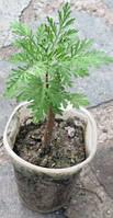 Полынь древовидная. (Artemisia arborescens). Укорененные черенки в Д5.