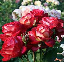 Роза Мидсаммер (Midsummer) Флорибунда, фото 2
