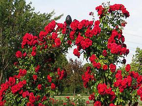 Роза Амадеус (Amadeus) Плетистая, фото 2