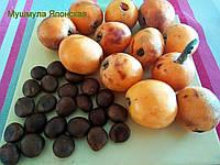Мушмула японская семена, фото 1