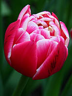 Тюльпан Columbus, 12+, фото 1