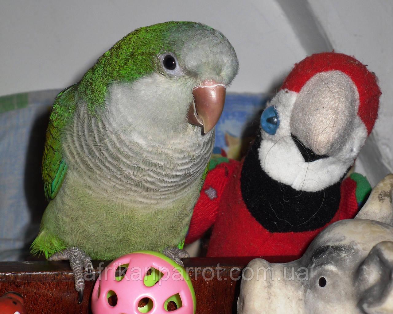 Попугай Монах (Калита или Квакеры) Преподобный Попугай.