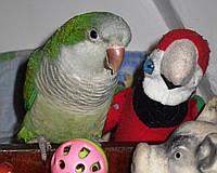 Попугай Монах (Калита или Квакеры) Преподобный Попугай., фото 1