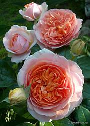 Саженцы розы Чиппендейл