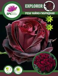 Роза чайно-гибридная Exlorer