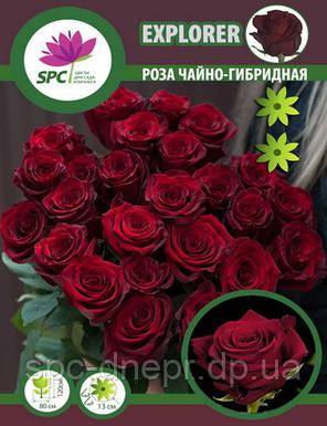 Роза чайно-гибридная Explorer, фото 2