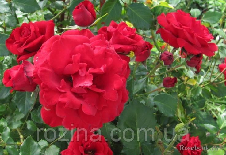 """Саджанці троянди """"Сантана"""""""