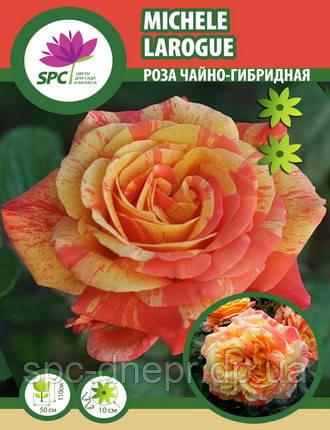 Роза чайно-гибридная Michele Larogue