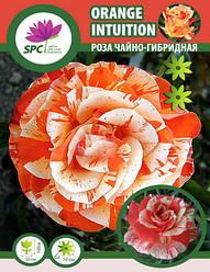 Роза чайно-гибридная Orange Intuition