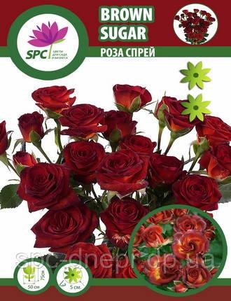 Роза бордюрная, спрей Brown Sugar
