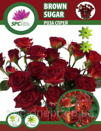 Роза бордюрная, спрей Brown Sugar, фото 2