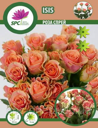 Роза бордюрная, спрей Isis, фото 2