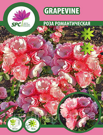 Роза романтическая Grapevine