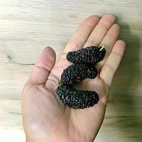 Шелковица «Гигант» черная семена