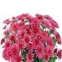 Хризантема Супер Той розово - красная Горшечная мелкоцветная (мультифлора) Рассада
