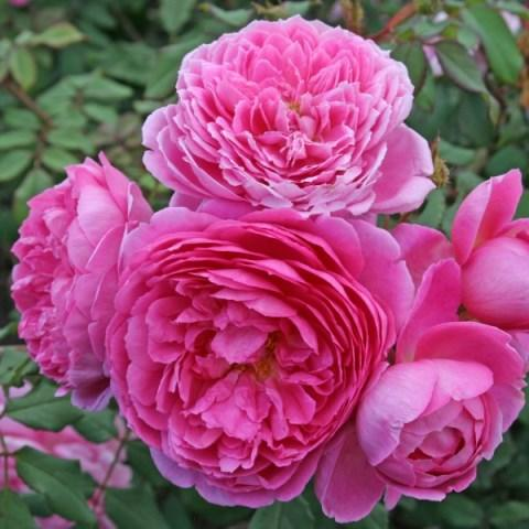 Роза кустовая Алан Тичмарш
