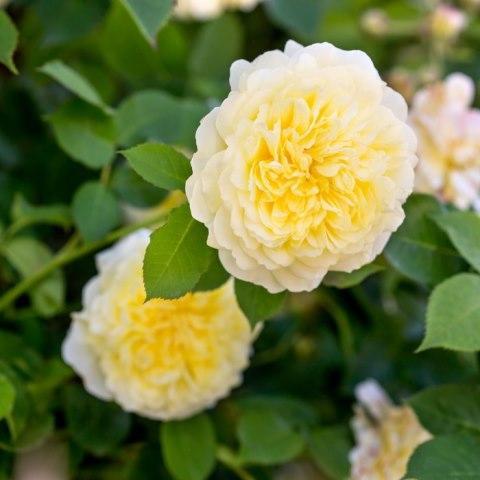 Роза кустовая Зе Пилигрим